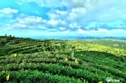 以茶为媒引客来 茶旅融合产业兴——平塘县利用优势吸引客商投资发展茶产业侧记