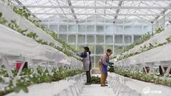 贵定县星溪村:高效农业温室大棚绿意正浓