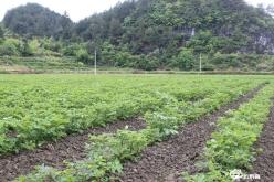 """贵定县光辉村:""""黑美人""""种植让群众增产增收"""
