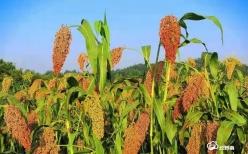 平塘者密:红缨子糯高粱富了群众兴了村