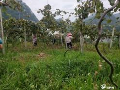 """荔波农商银行创业贴息贷款助农户创甜""""猕""""事业"""
