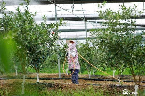 荔波:3000亩脆蜜金柑病虫害防治忙
