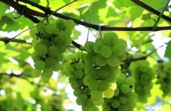 三都:葡萄节助力乡村振兴