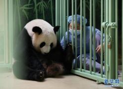 """法国:大熊猫""""欢欢""""诞下双胞胎"""