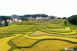惠水:20万亩优质稻开镰收割