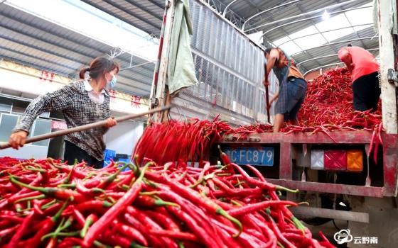 瓮安:辣椒采收加工进入旺季