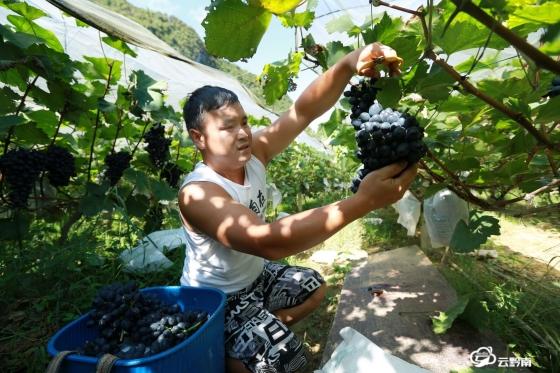 平塘卡罗:葡萄迎丰收