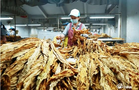【走进乡村看小康】福泉:万亩烤烟迎丰收