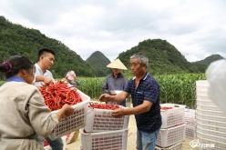 【走进乡村看小康】长顺:火红的辣椒让群众实现增收