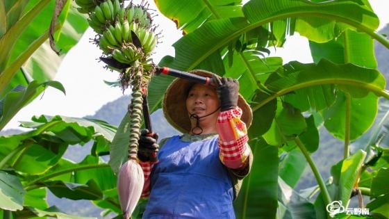 【走进乡村看小康】长顺:丰收喜相望 百亩小米蕉管护忙
