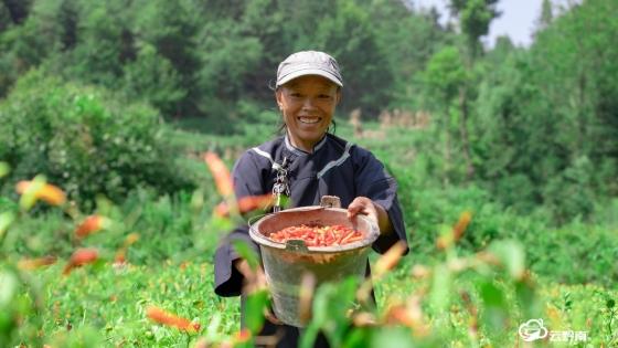 【走进乡村看小康】长顺:花椒树下种辣椒 以短养长助农户笑