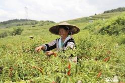 龙里农商行助推辣椒产业蒸蒸日上