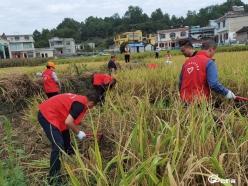 独山公路管理段:干部职工助农抢收水稻